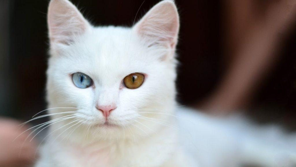 オッドアイの白猫を見る