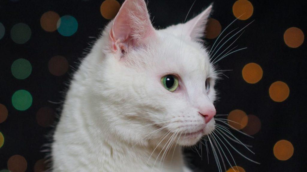 夜に白猫と出会う