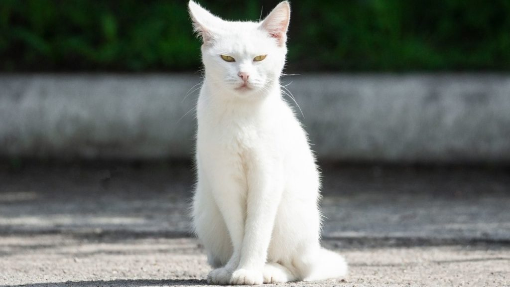 日中に白猫を見かけると縁起がいい