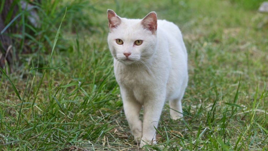 白猫が横切る意味