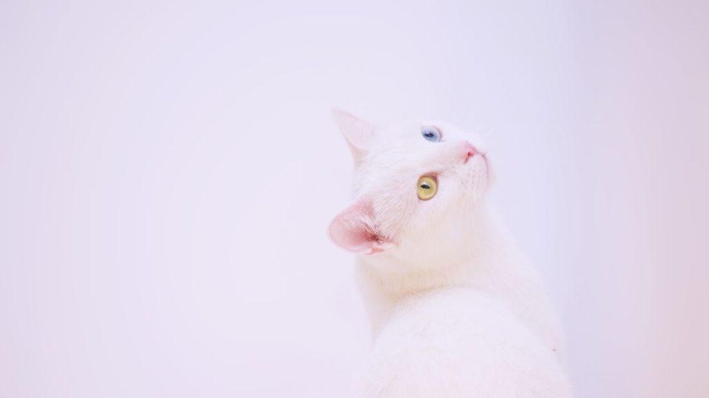 白猫の夢は幸運を招くサイン