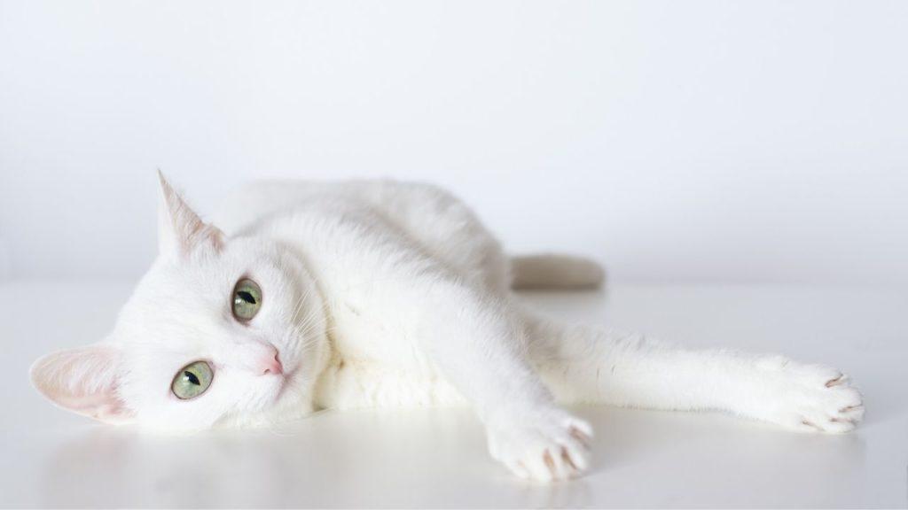 白猫は神の使い?