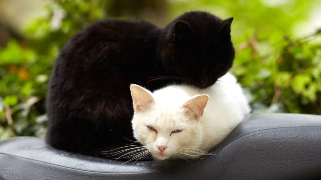黒猫と白猫を一緒に見る