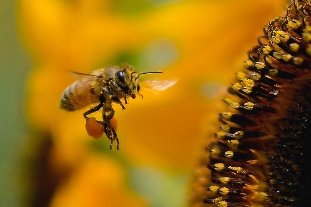 ミツバチに刺される夢
