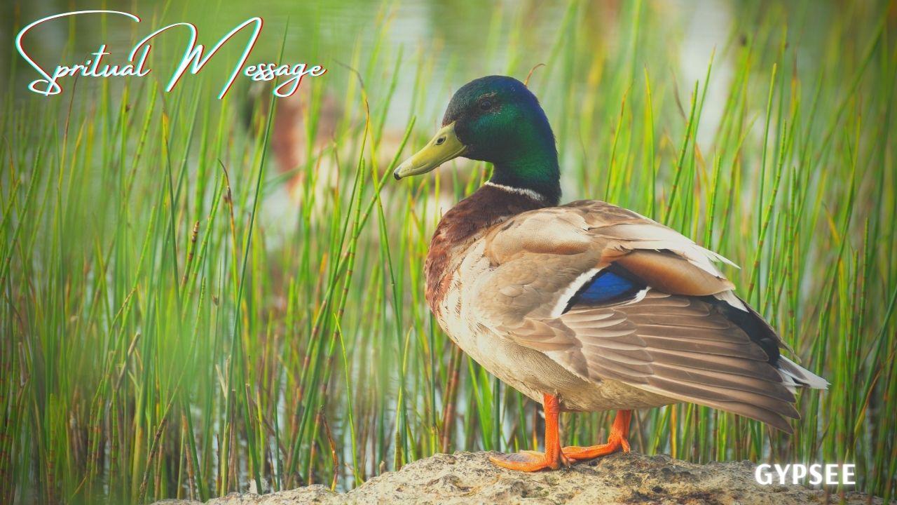 鴨とスピリチュアル!意味・メッセージ縁起つがい飛ぶ瞬間親子を見るなど