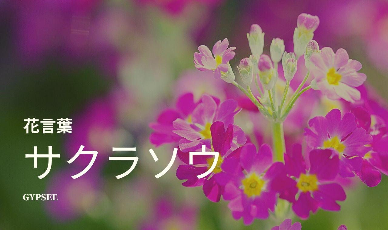 サクラソウとは?特徴・花言葉・種類