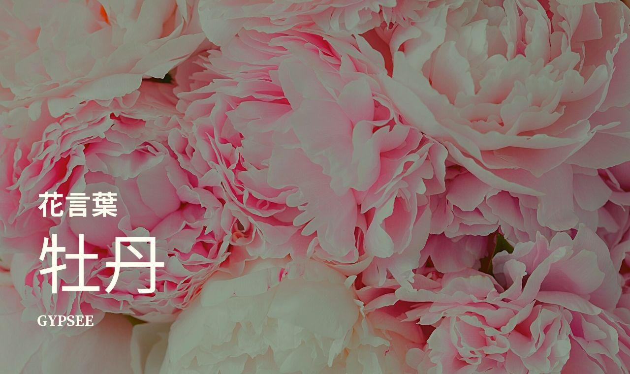 牡丹の花言葉・特徴・季節・育て方のポイント