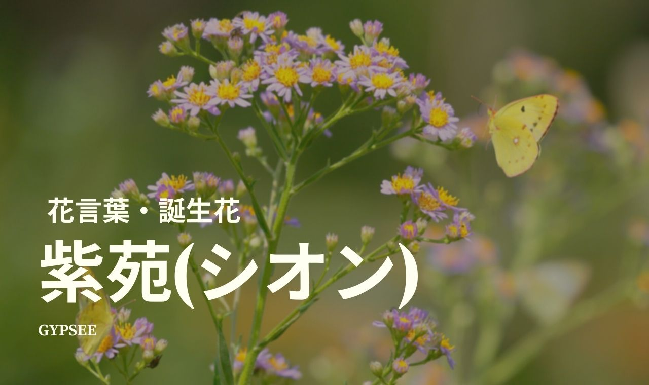 紫苑の花言葉・誕生花・種類・仲間・育て方