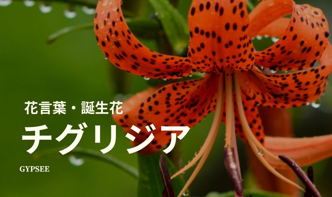 チグリジアとは?特徴・花言葉・誕生花・種類・育て方など
