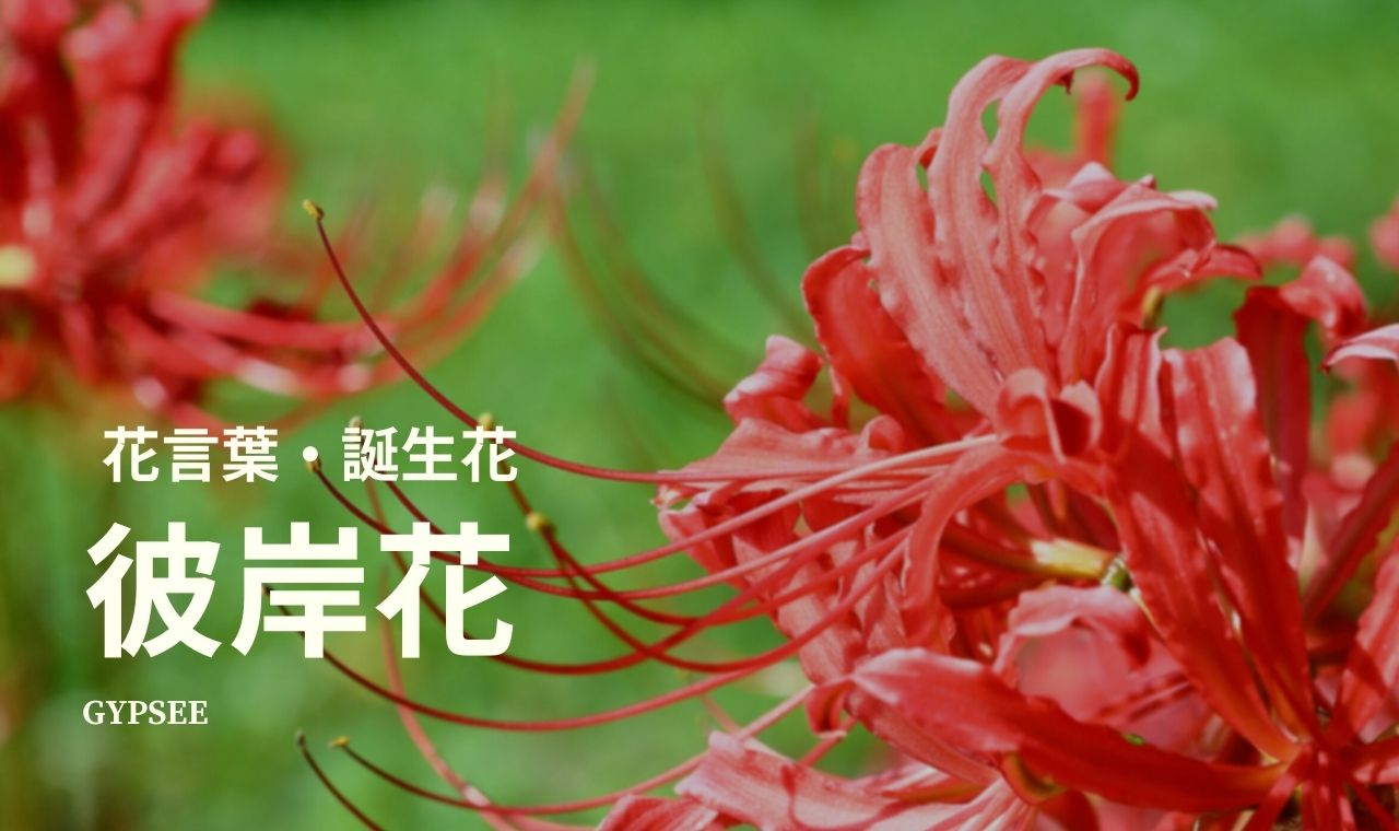 【怖い?】彼岸花の花言葉・色別・誕生花・育て方・種類