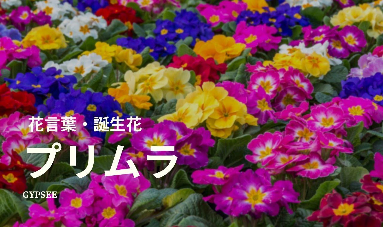 プリムラの花言葉・誕生花・育て方・種類