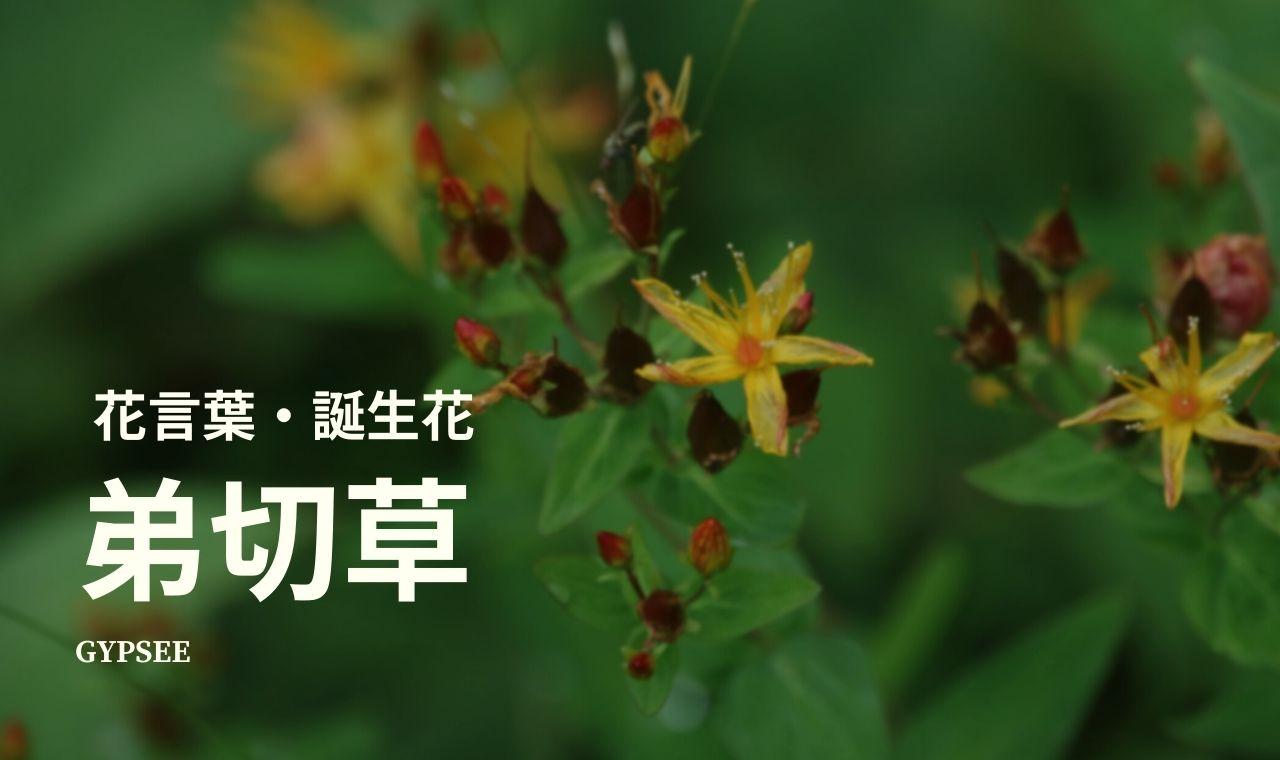 弟切草の花言葉・誕生花・育て方・種類