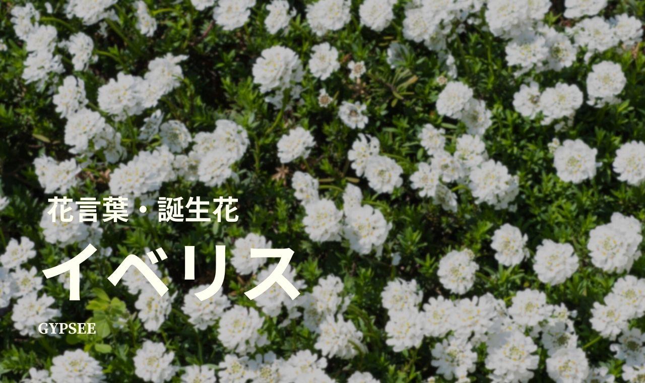 イベリスの花言葉・誕生花・育て方・種類